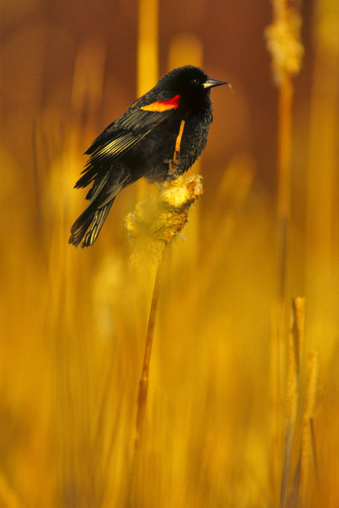 Stock Photo: 4097-4143 Close-up of a Blackbird (Turdus merula) perching on reeds, Vancouver Island, British Columbia, Canada