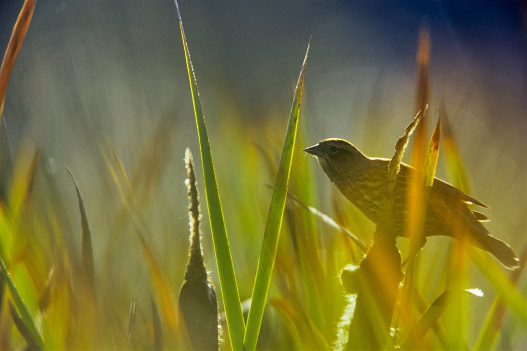 Close-up of a Blackbird (Turdus merula) perching on reeds, Vancouver Island, British Columbia, Canada : Stock Photo