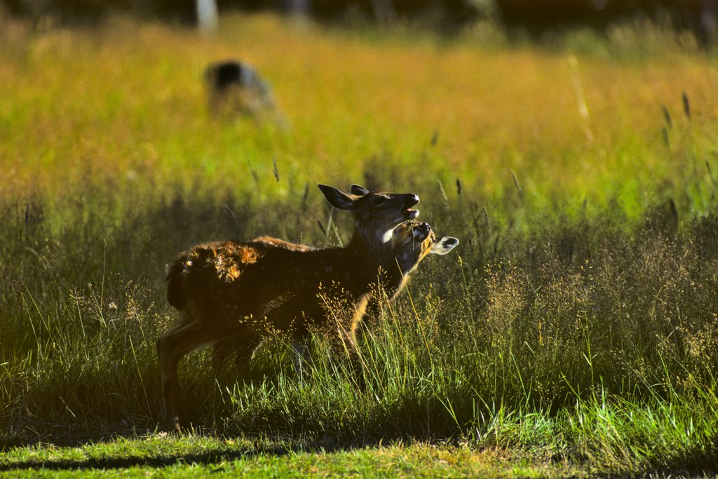 Canada, Vancouver Island, Black Tailed Deer (Odocoileus hemionus columbianus) : Stock Photo