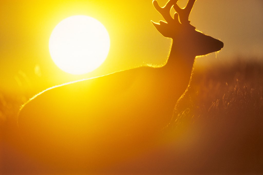 Stock Photo: 4097-4259 USA, Washington state, Olympic National Park, Black Tailed Deer (Odocoileus hemionus columbianus)
