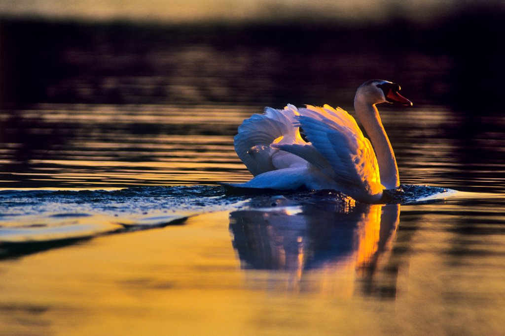 Canada, Vancouver Island, Mute Swan (Cygnus olor) : Stock Photo