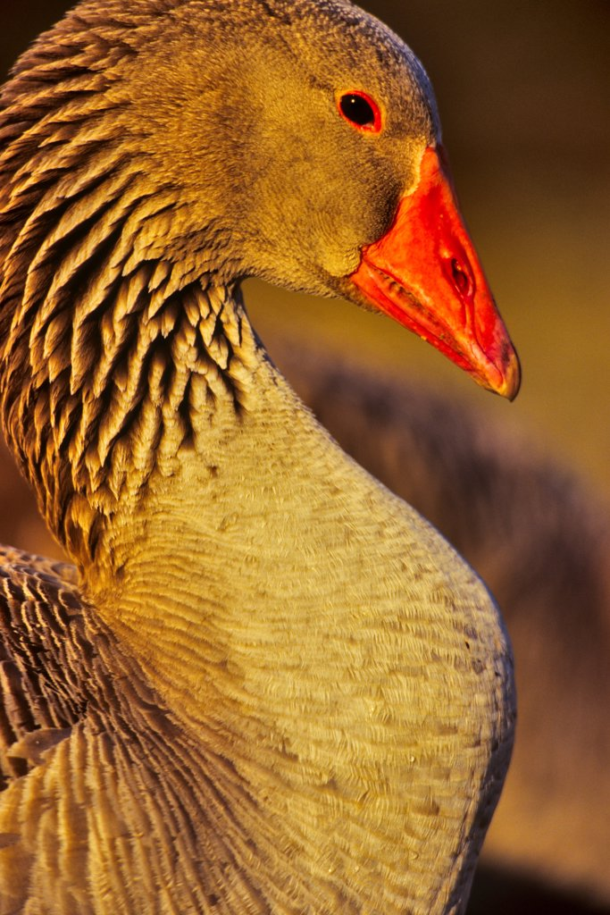 Canada, Vancouver Island, Toulouse Geese : Stock Photo