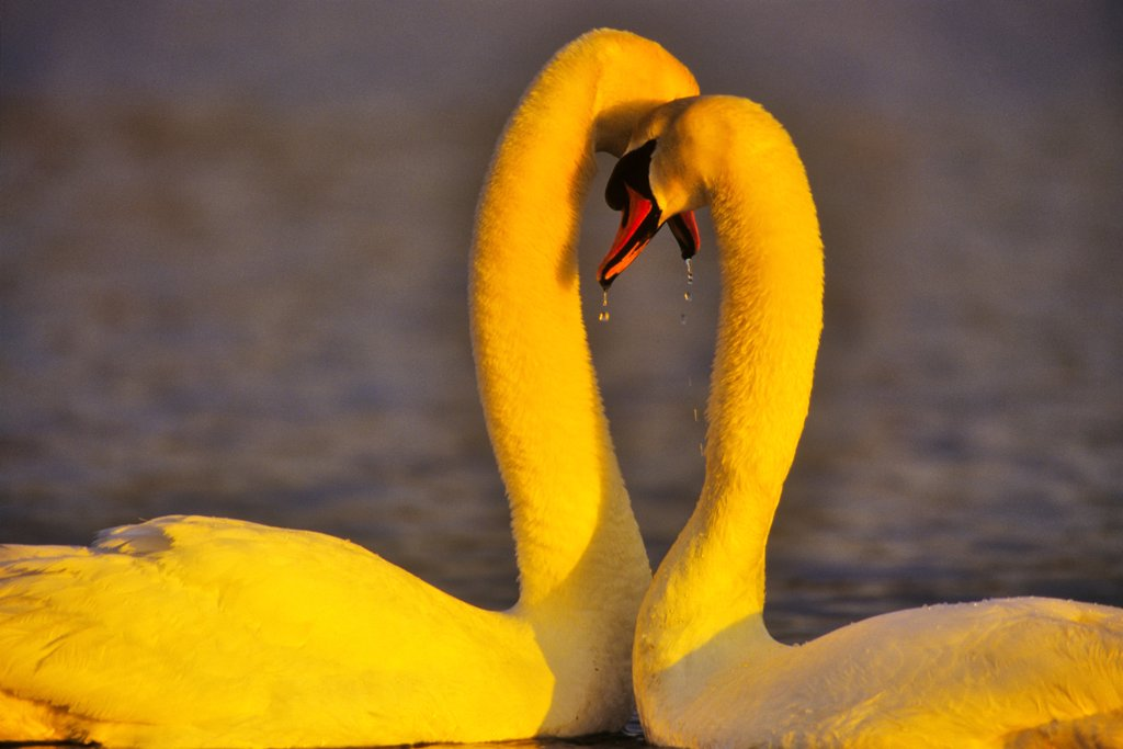 Canada, Vancouver Island, Mute Swan (Cygnus olor) : Stock Photo