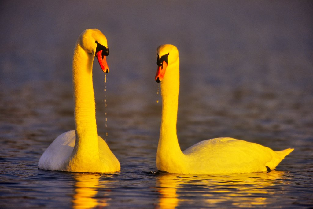 Stock Photo: 4097-4440 Canada, Vancouver Island, Mute Swan (Cygnus olor)