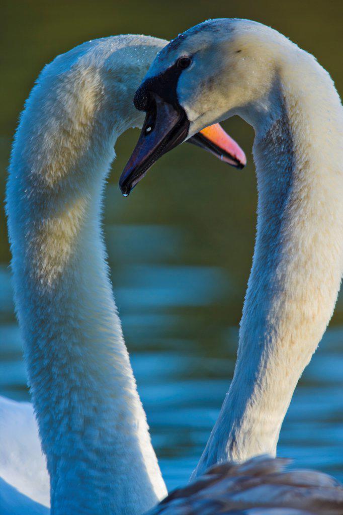 Stock Photo: 4097-4467 Canada, Vancouver Island, Mute Swan (Cygnus buccinator)