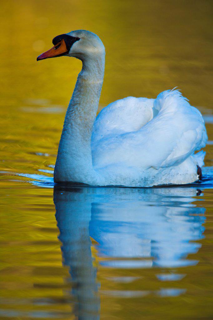 Stock Photo: 4097-4468 Canada, Vancouver Island, Mute Swan (Cygnus buccinator)
