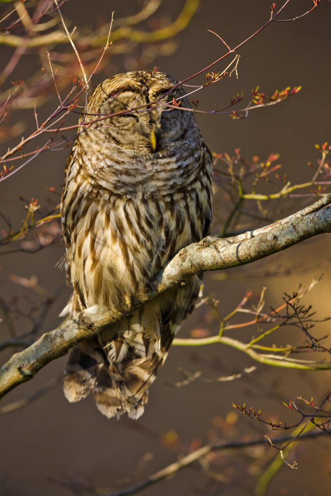 Stock Photo: 4097-4469 Canada, Vancouver Island, Barred Owl