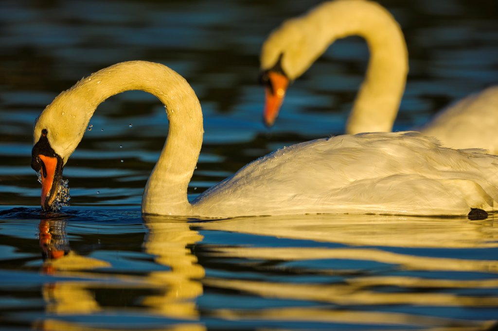 Canada, Vancouver Island, Mute Swan (Cygnus buccinator) : Stock Photo