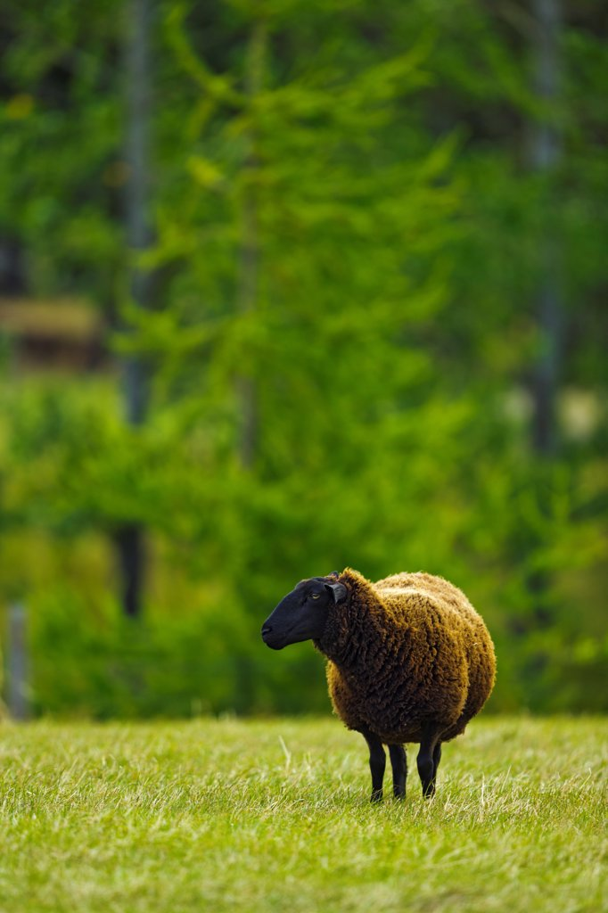 Stock Photo: 4097-4592 Canada, Vancouver Island, Sheep in pasture