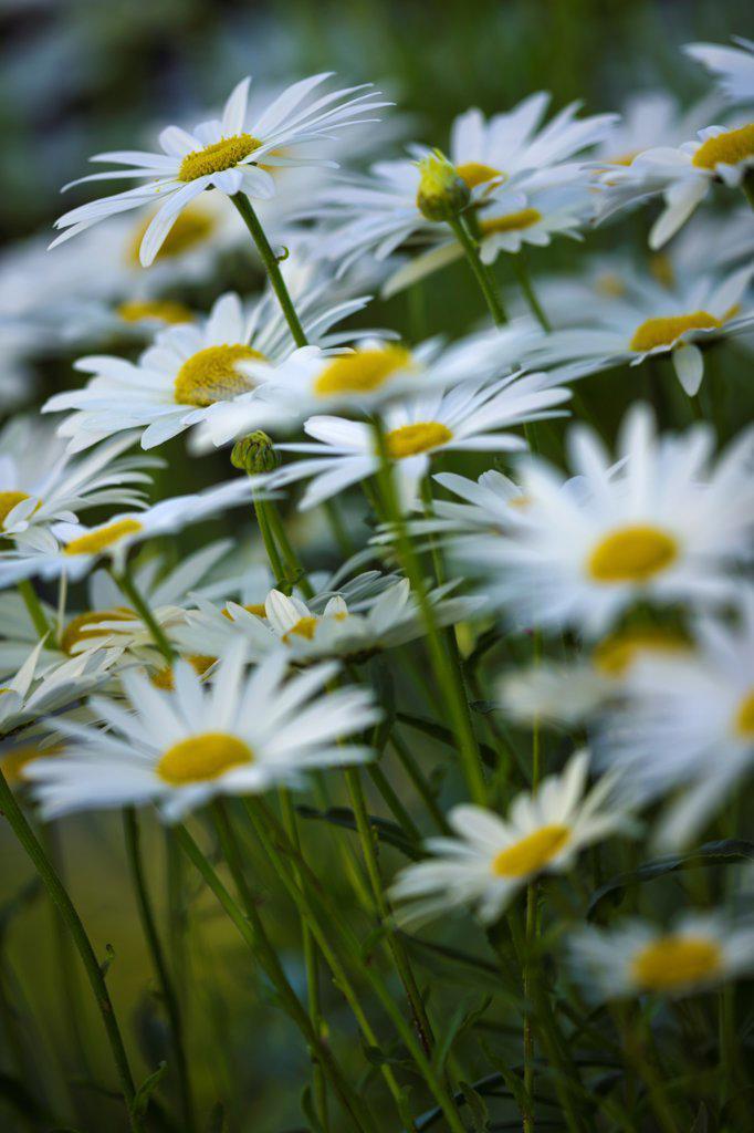 Canada, British Columbia, Victoria, Daisies in flower garden : Stock Photo