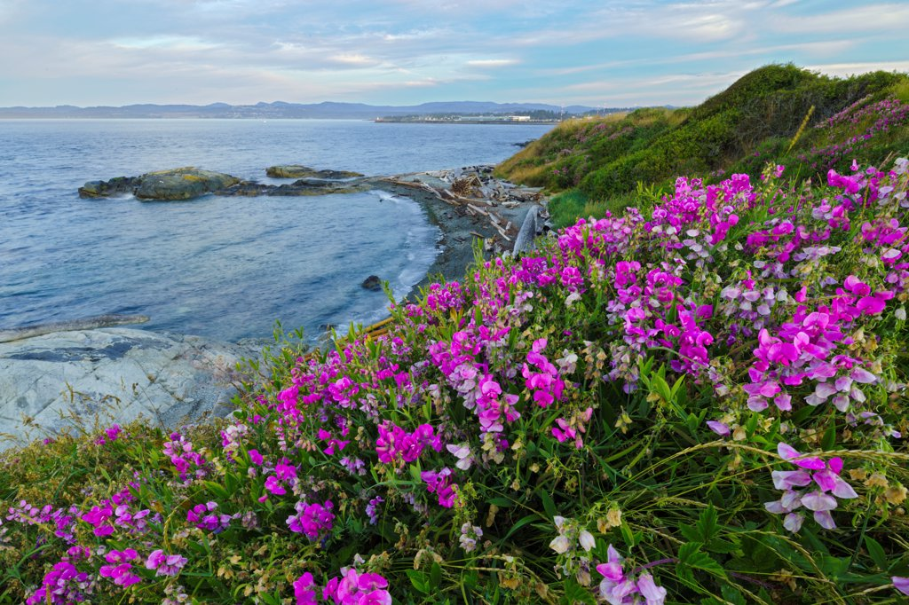 Canada, Vancouver Island, Victoria, Beach Pea flowers on sea cliff : Stock Photo