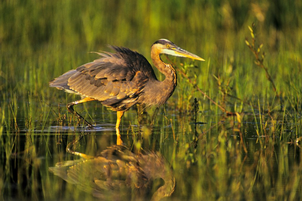 Canada, British Columbia, Vancouver Island Great Blue Heron (Ardea herodias) : Stock Photo