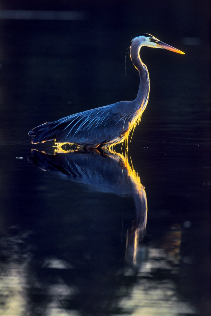 Stock Photo: 4097-4646 Canada, British Columbia, Vancouver Island Great Blue Heron (Ardea herodias)