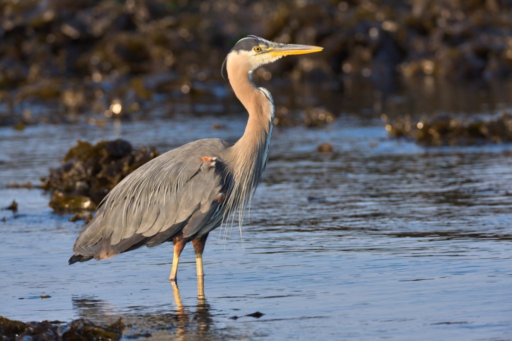 Stock Photo: 4097-4670 Canada, British Columbia, Vancouver Island, Great Blue Heron (Ardea herodias)