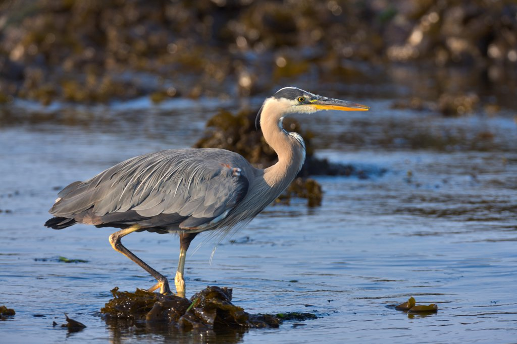 Stock Photo: 4097-4674 Canada, British Columbia, Vancouver Island, Great Blue Heron (Ardea herodias)