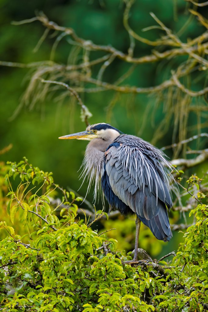 Stock Photo: 4097-4685 Canada, British Columbia, Vancouver Island, Beacon Hill Park, Great Blue Heron (Ardea herodias)