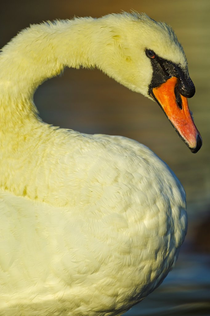Stock Photo: 4097-4738 Canada, British Columbia, Vancouver Island, Mute Swan (Cygnus olor)