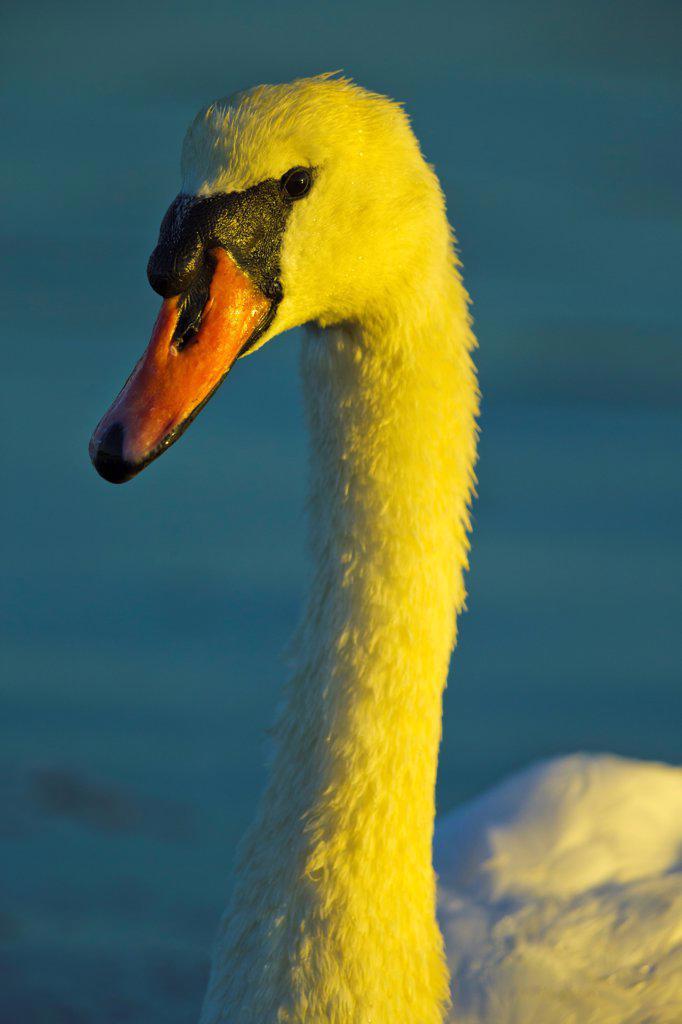 Canada, British Columbia, Vancouver Island, Mute Swan (Cygnus olor) : Stock Photo