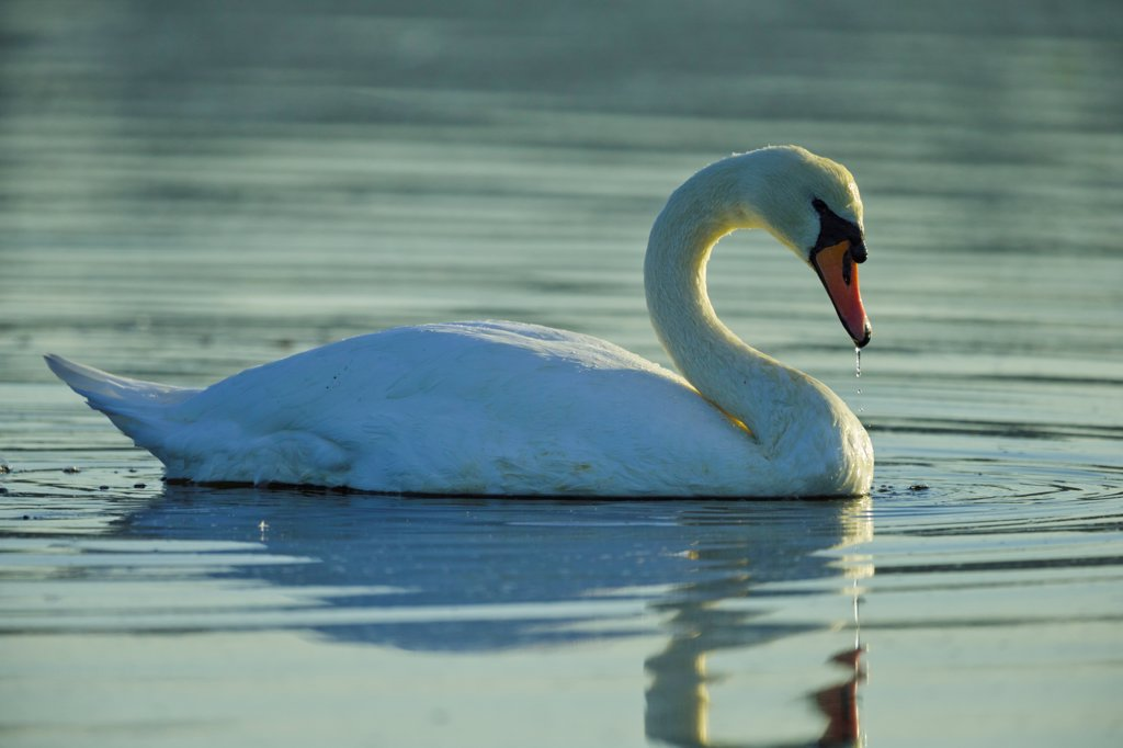 Stock Photo: 4097-4756 Canada, British Columbia, Vancouver Island, Mute Swan (Cygnus olor)