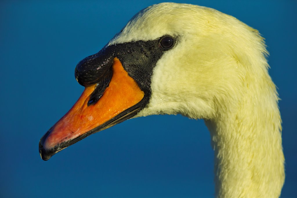 Stock Photo: 4097-4773 Canada, British Columbia, Vancouver Island, Profile of Mute Swan (Cygnus olor)
