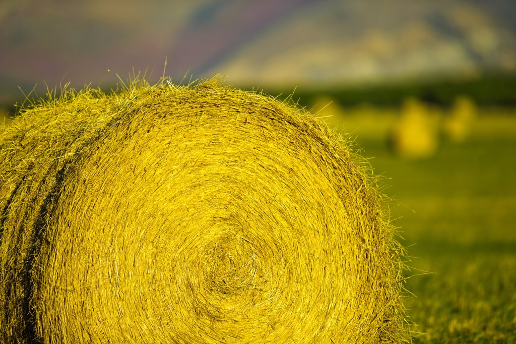 Canada, Alberta, Hay bails in field : Stock Photo
