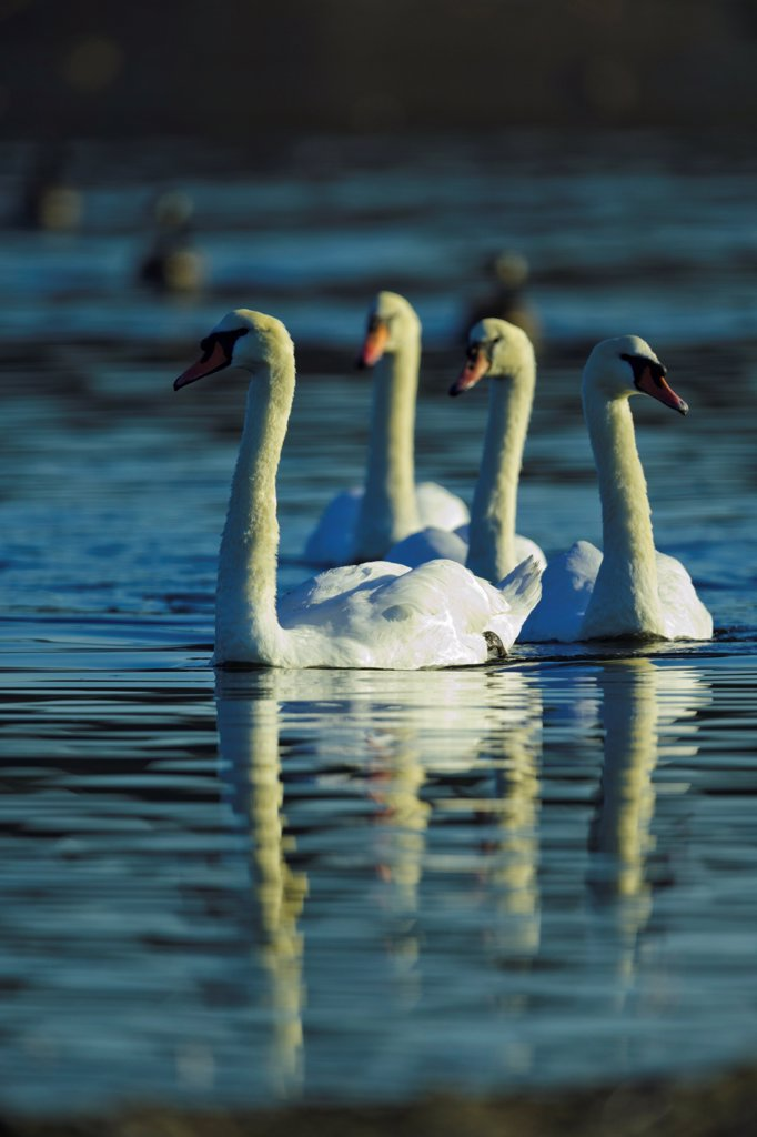 Stock Photo: 4097-4929 Canada, British Columbia, Vancouver Island, Mute Swan (Cygnus olor)