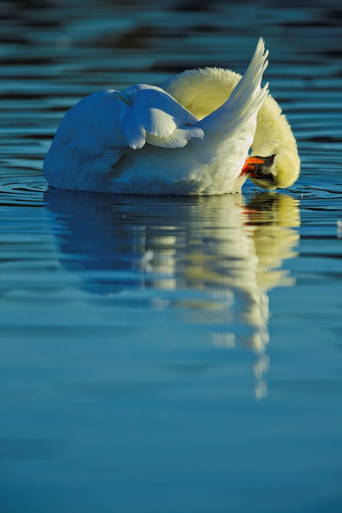 Stock Photo: 4097-4935 Canada, British Columbia, Vancouver Island, Mute Swan (Cygnus olor)
