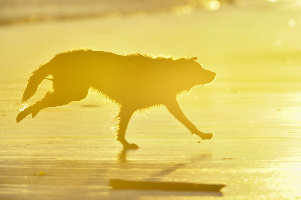 Stock Photo: 4097-725 Dog running on the beach, Pacific Rim National Park Reserve, Vancouver Island, British Columbia, Canada