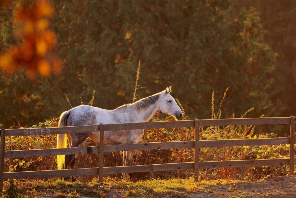 Stock Photo: 4097-853 Horse near the fence, Saanich Peninsula, Vancouver Island, British Columbia, Canada