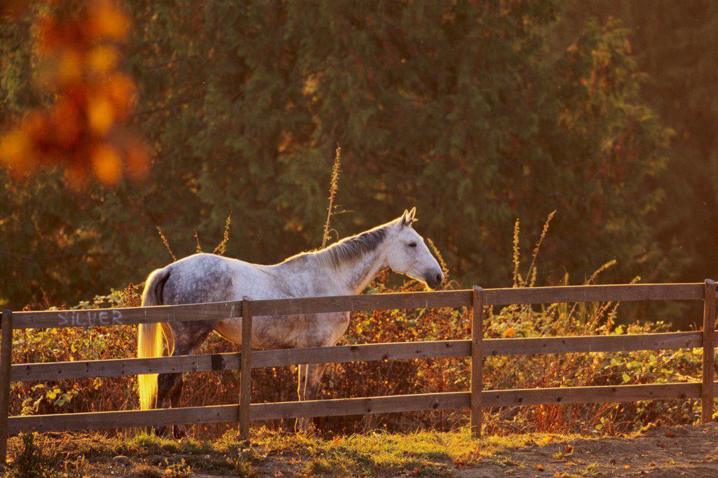 Horse near the fence, Saanich Peninsula, Vancouver Island, British Columbia, Canada : Stock Photo