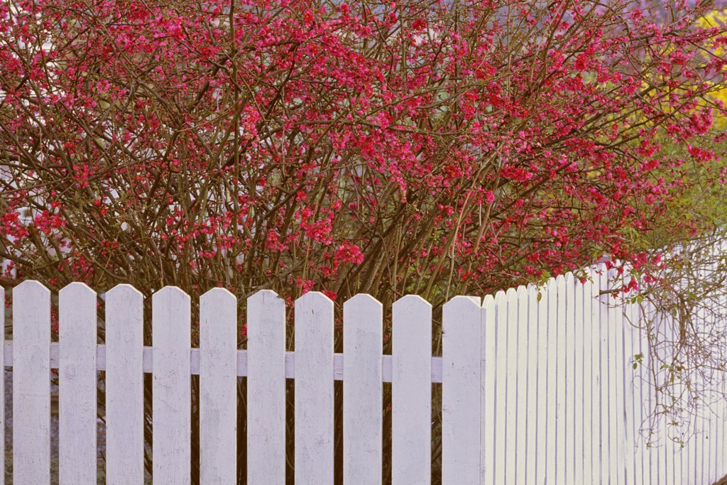 Stock Photo: 4097-887 Fence in front of a blossom tree, Saanich Peninsula, Vancouver Island, British Columbia, Canada