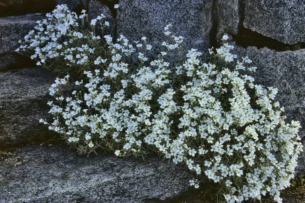 Stock Photo: 4097R-3889 White flowers growing in rock garden