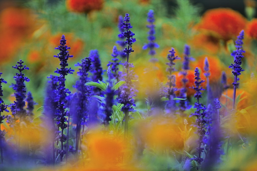 Stock Photo: 4097R-3904 Close-up of yellow marigolds and salvia growing on field