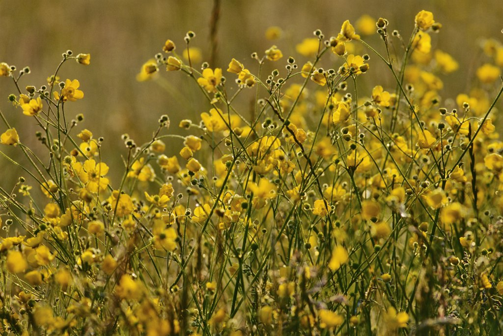Canada, Vancouver Island, Saanich Peninsula, Elk Lake, Buttercup Flowers : Stock Photo