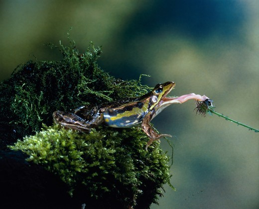 Frog jumping for prey : Stock Photo