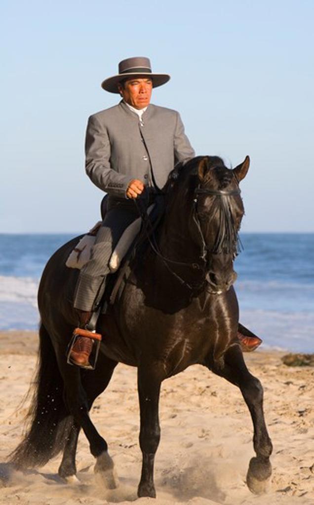 Black Andalusian Stallion {Equus caballus} with rider in Traditional Spanish attire (Traje Corto) Ojai, California, USA. : Stock Photo