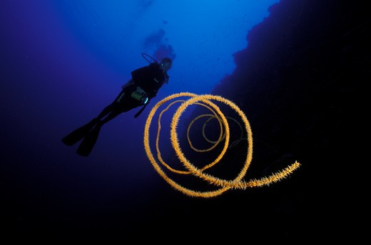 Stock Photo: 4115-1192 Spiral whip / wire coral (Stichophates sp) and diver, Philippines.