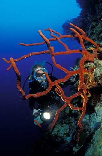 Stock Photo: 4115-1202 A scuba diver with a lamp behind a Red rope sponge (Amphimedon compressa), Belize