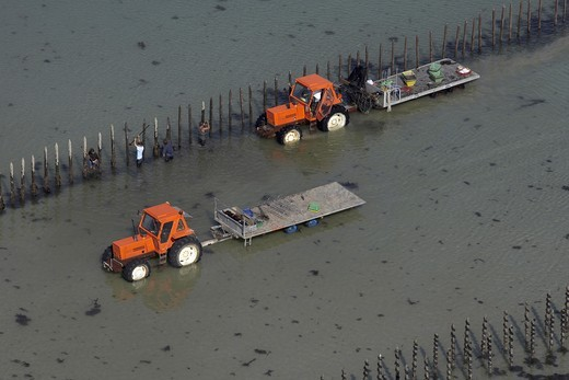 Tractors amongst Bouchot mussels aquaculture in the Brehat Archipelago, Cotes d`Armor, Brittany, France. September 2005. : Stock Photo