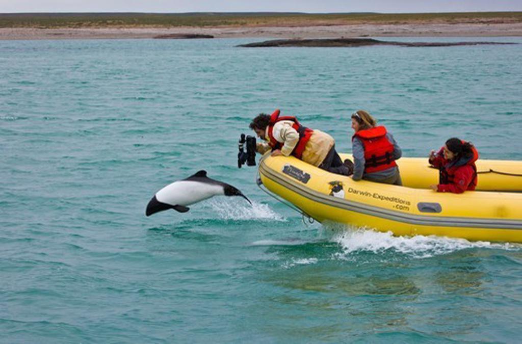 Cameraman filming a Piebald / Commerson's dolphin (Cephalorhynchus commersonii) porpoising. Deseado River, Puerto Deseado, Patagonia, Argentina, Nov 2008 : Stock Photo