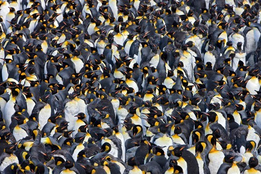 Stock Photo: 4115-5517 A large group of King Penguin (Aptenodytes patagonicus) moulting, St Andrews Bay, South Georgia Island, Southern Ocean, Antarctic Convergence.