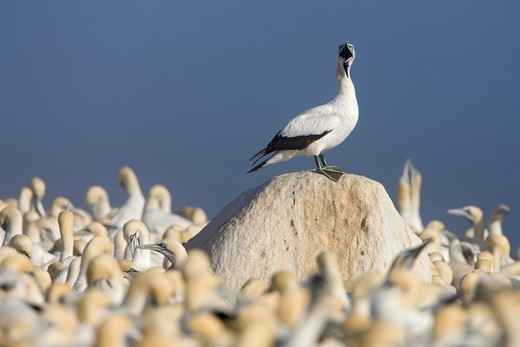 Cape Gannet (Sula capensis) perched on a rock whilst calling, nesting colony, Lamberts Bay, South Africa. : Stock Photo