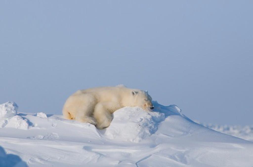 Stock Photo: 4115-5694 Polar bear (Ursus maritimus) adult sleeping on snow bank in winter, Arctic coast, Alaska, USA