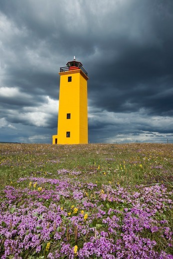 Wildflowers in bloom, with brightly painted yellow Selvogsviti Lighthouse under dark storm clouds,Reykjanes, Iceland, July 2009. : Stock Photo