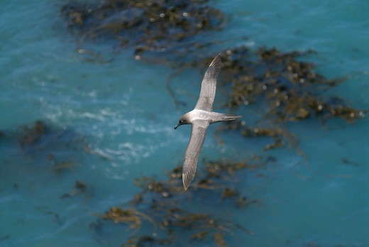 Light mantled sooty albatross (Phoebetria palpebrata) flying over sea, Macquarie Island, Southern Atlantic, Australian Antarctica, December : Stock Photo