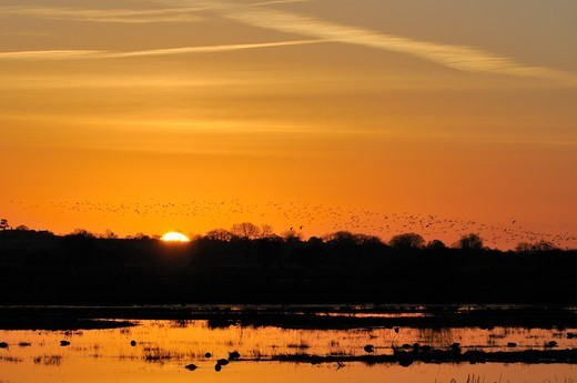 Stock Photo: 4115-6440 Lapwings (Vanellus vanellus) returning to roost on flooded marshland at sunset. Greylake RSPB reserve, Somerset Levels, UK, January