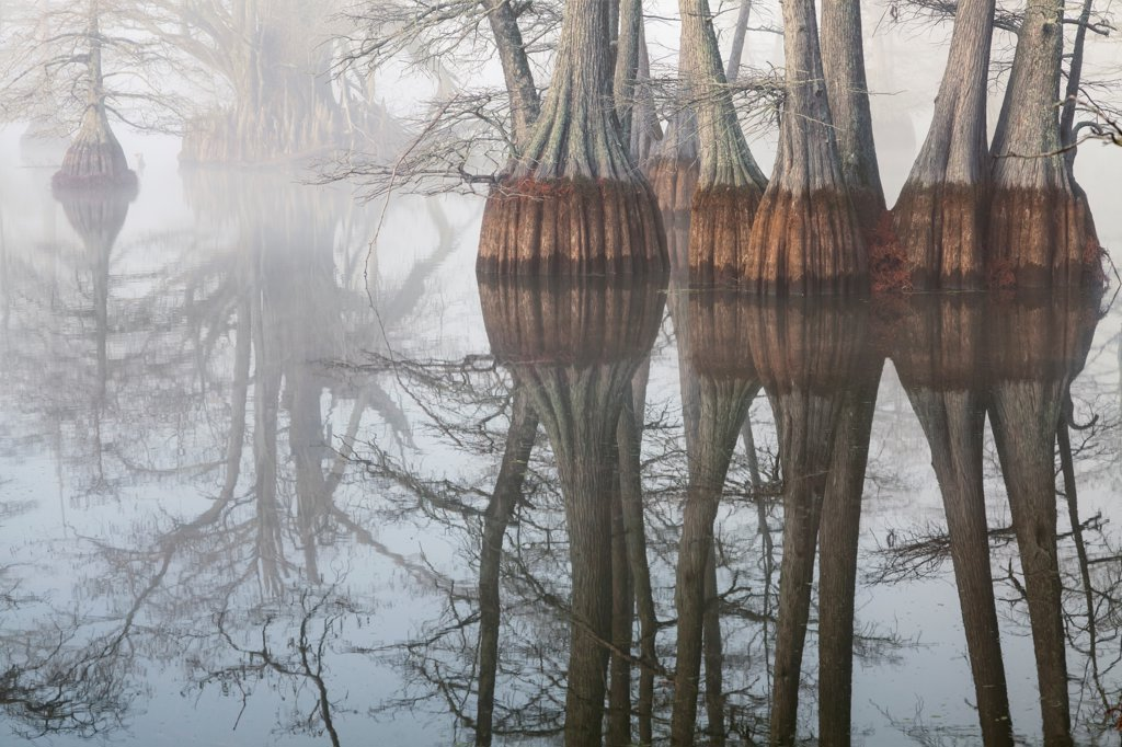 Stock Photo: 4116-1150 USA, Arkansas, Galloway, Foggy morning in cypress swamp in winter