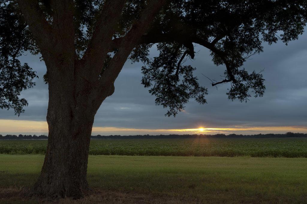 Pecan tree and soybean field at sunrise, Arkansas, USA : Stock Photo