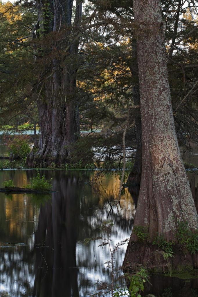 Cypress trees in a lake, Cypress Swamp, Arkansas, USA : Stock Photo