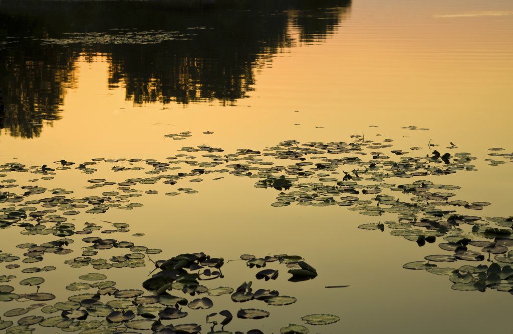 Stock Photo: 4116-223 Lily pads in a lake at sunset, Lake Conway, Arkansas, USA